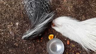 Albino porcupine enjoys a snack - Video
