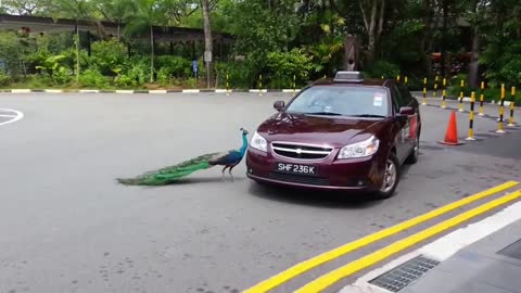peafowl attacked to a car. What went through?