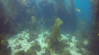 Lost Rare Giant Kelp Forest Under water Discover