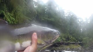 Guy catches salmon bare handed in Alaskan stream - Video