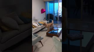 Goldenretriever playing with a balloon