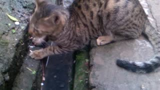 Hungry cat is looking for food  - Video