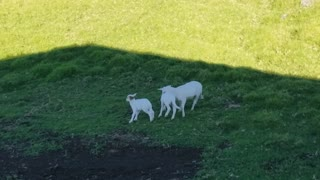 Small Baby Sheep Picking On Bigger Sheep