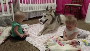 Husky adorable entertains twin babies - Video