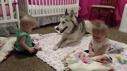 Husky Adorably Entertains Twin Babies