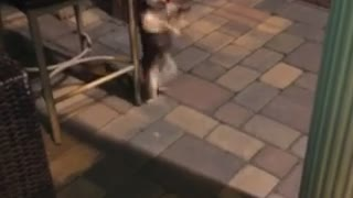 Dancing teacup puppy has some serious moves!