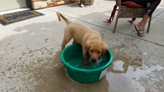 Adorable Golden Retriever puppy plays in water bowl