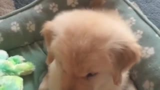 My cute golden dog play with toys - Video