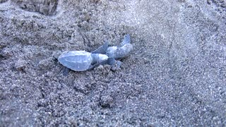 Hatching Baby Turtles - Video