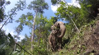 Unbelievable Footage as GIGANTIC Asian Elephant Checks On Her Baby  - Video