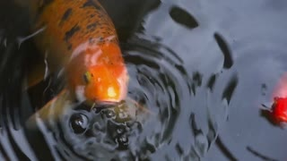 Free Koi Fish in Pond Stock Video Footage