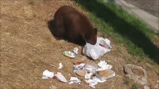 Mama Bear and Cubs Enjoy Garbage Can Picnic - Video