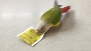 Parrot snow plows kitchen counter with tea bag - Video