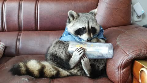 Raccoon eats all the grapes, turns over the bowl, and checks the empty bowl.
