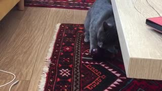 Grey cat plays with eggplant - Video