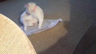 White cat chasing its tail
