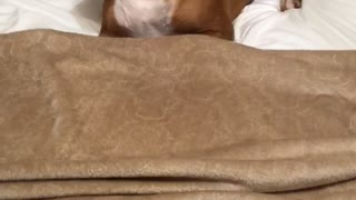 Boxer under cover
