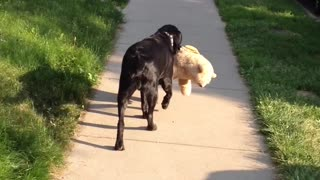 Dog takes stuffed animal with him for his walk