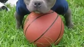 pitbull play basketball - Video