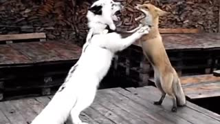 Funny foxes dance the tango together