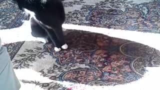 Black white cat spins out of control  - Video