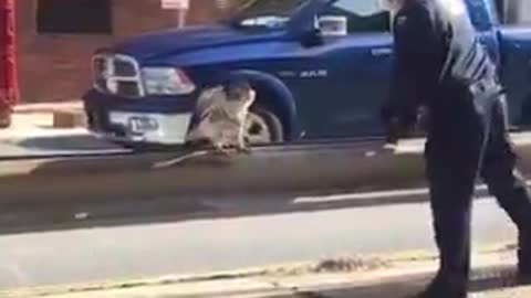 NYPD rescue an injured red-tailed hawk
