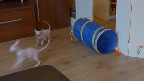Sphynx mommy and babies playtime