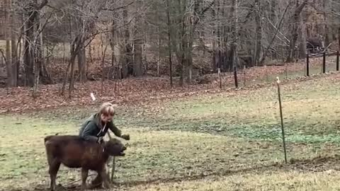 Girl tries to wrestle a baby cow