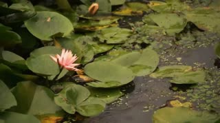Lilypad with soothing music