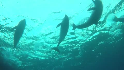 Dolphins swimming in the Red Sea, Eilat Israel 8