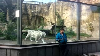White Tiger Stalks And Hunts Unsuspecting Caretaker At The Zoo - Video