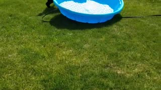 Black dog drags blue kiddie pool across green lawn - Video