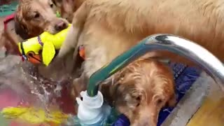 Pack Of Golden Retriever Puppies Pouring Out Of The Pool