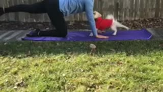 Pomeranian dog in red vest does yoga with owner outside  - Video