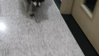 Raccoon is working out.