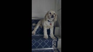 Camera shy dog blocks the staircase - Video