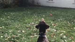Dogs in grass backyard are staring at drone flown by orange jersey's - Video