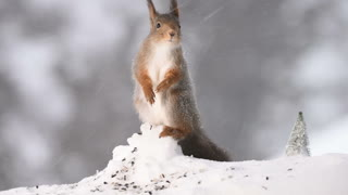 red squirrel in a snowstorm - Video