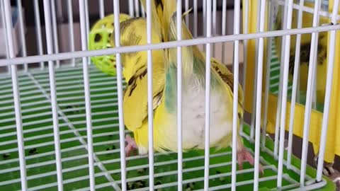 Budgie doing forward rolls