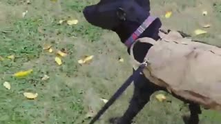 Dog biting leash he is getting pulled by - Video