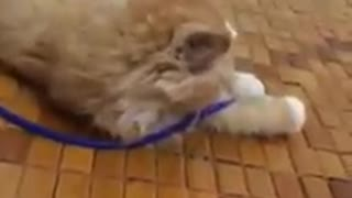 Lovely cat and phone charger cord - Video