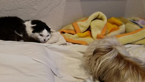 Cat Annoyed By Silly Dog's Dance Move! Funny reaction.