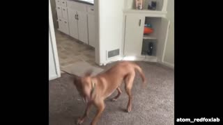 Happy dog jumps for joy - Video