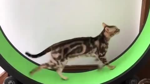 crazy walking machine for cats
