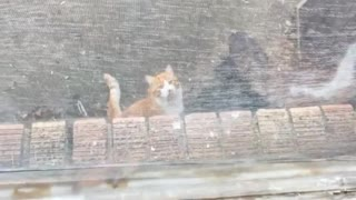 Dog scratching at window at orange cat on the floor - Video