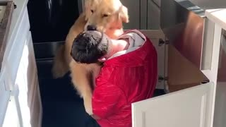 Golden Retriever extremely excited to see his owner