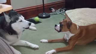 Boxer And Husky Engage In Epic Barking Debate - Video