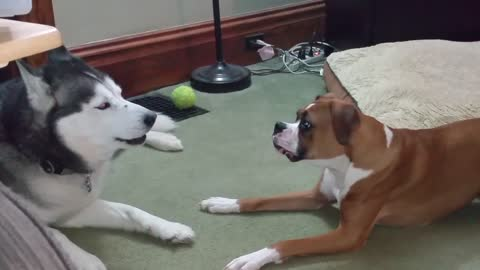 Boxer And Husky Engage In Epic Barking Debate