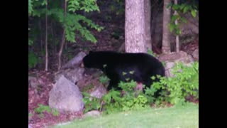 Black Bear spotted in Maine backyard - Video