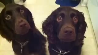 Two brown dogs licking spoons with peanut butter - Video